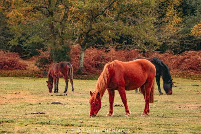 horses grazing in the new forest national park